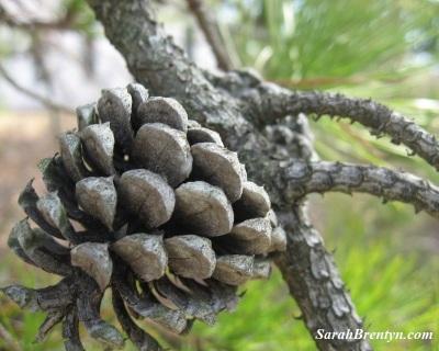 pine-cone-sig